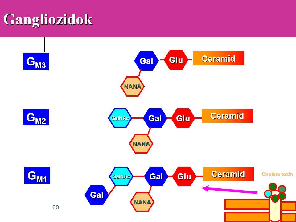 60GangliozidokCeramid Glu Gal NANA G M3 Ceramid GluGal NANA GalNAc G M2 Ceramid GluGal NANA GalNAc G M1 Gal Cholera toxin