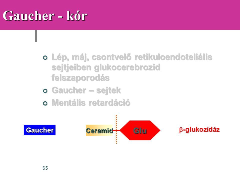 65 Gaucher - kór Lép, máj, csontvelő retikuloendoteliális sejtjeiben glukocerebrozid felszaporodás Gaucher – sejtek Mentális retardáció Ceramid Glu Ga