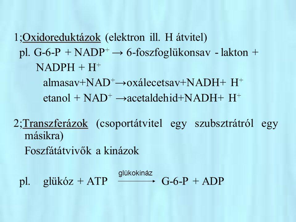 Hidrolázok 3;Hidrolázok (víz bevitellel hasítanak kovalens kötéseket) pl.