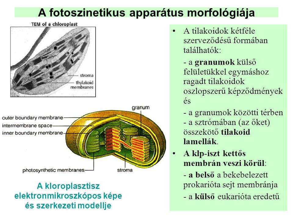 A fotoszinetikus apparátus morfológiája •A tilakoidok kétféle szerveződésű formában találhatók: - a granumok külső felületükkel egymáshoz ragadt tilak