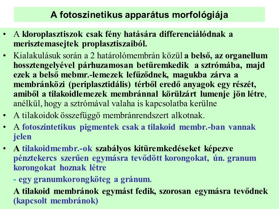A fotoszinetikus apparátus morfológiája •A kloroplasztiszok csak fény hatására differenciálódnak a merisztemasejtek proplasztiszaiból. •Kialakulásuk s