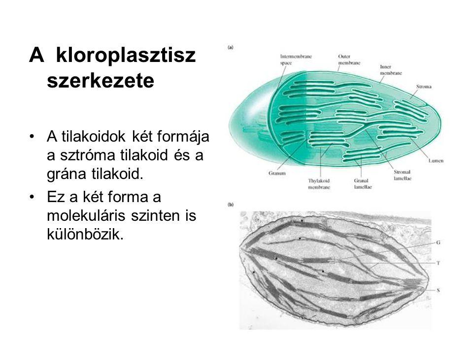 A kloroplasztisz szerkezete •A tilakoidok két formája a sztróma tilakoid és a grána tilakoid. •Ez a két forma a molekuláris szinten is különbözik.