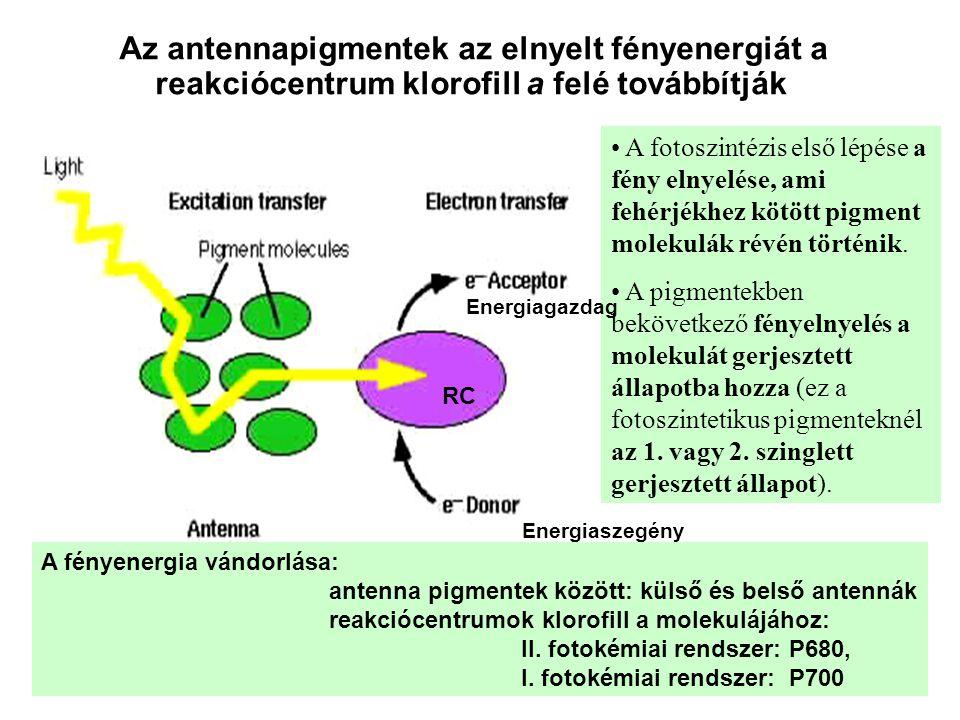 Az antennapigmentek az elnyelt fényenergiát a reakciócentrum klorofill a felé továbbítják A fényenergia vándorlása: antenna pigmentek között: külső és