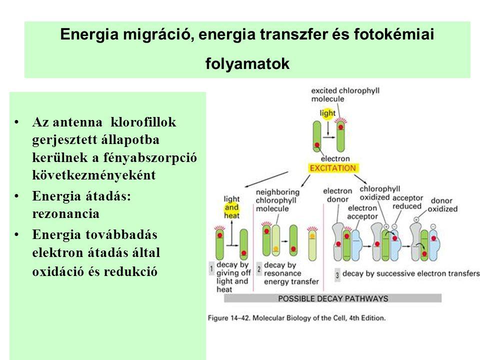 Energia migráció, energia transzfer és fotokémiai folyamatok •Az antenna klorofillok gerjesztett állapotba kerülnek a fényabszorpció következményeként