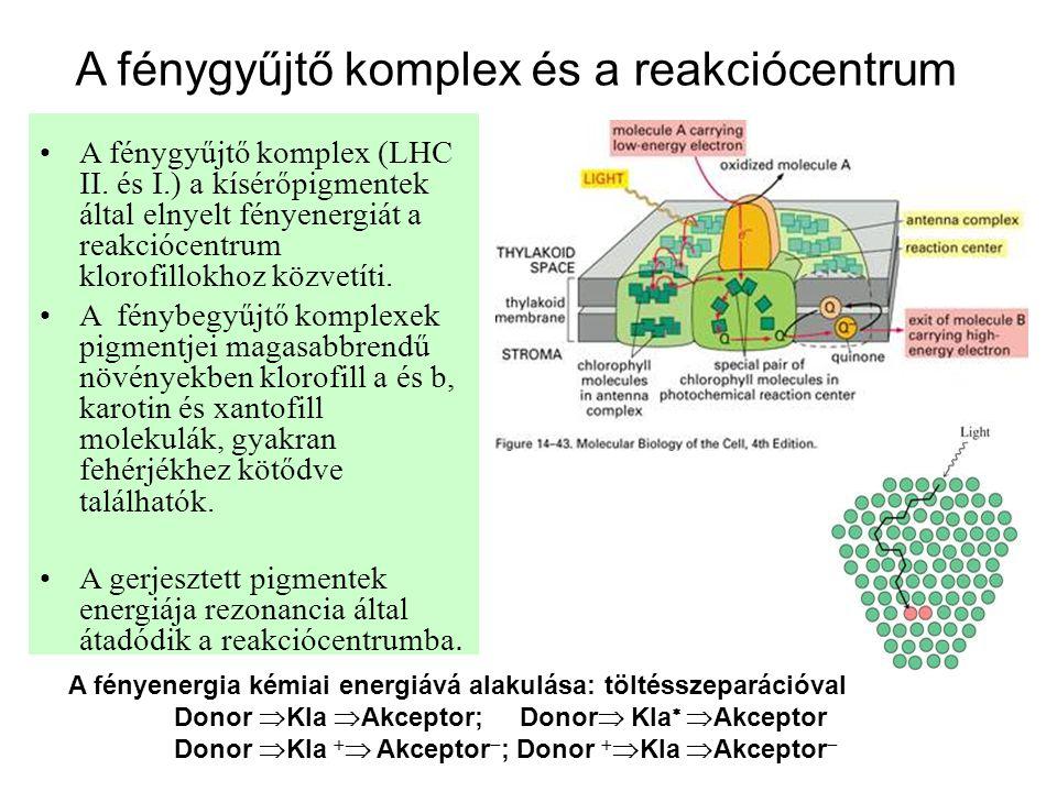 A fénygyűjtő komplex és a reakciócentrum •A fénygyűjtő komplex (LHC II. és I.) a kísérőpigmentek által elnyelt fényenergiát a reakciócentrum klorofill