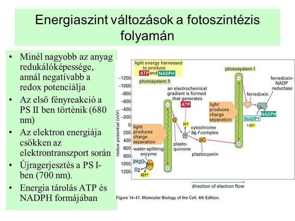Energiaszint változások a fotoszintézis folyamán •Minél nagyobb az anyag redukálóképessége, annál negatívabb a redox potenciálja •Az első fényreakció