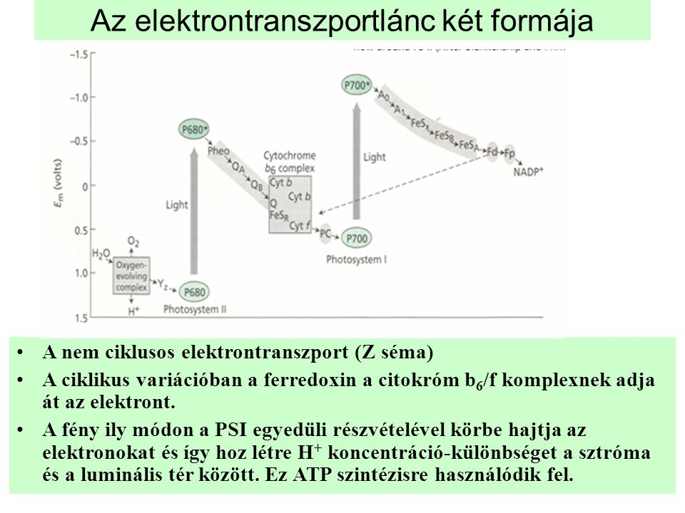 Az elektrontranszportlánc két formája •A nem ciklusos elektrontranszport (Z séma) •A ciklikus variációban a ferredoxin a citokróm b 6 /f komplexnek ad