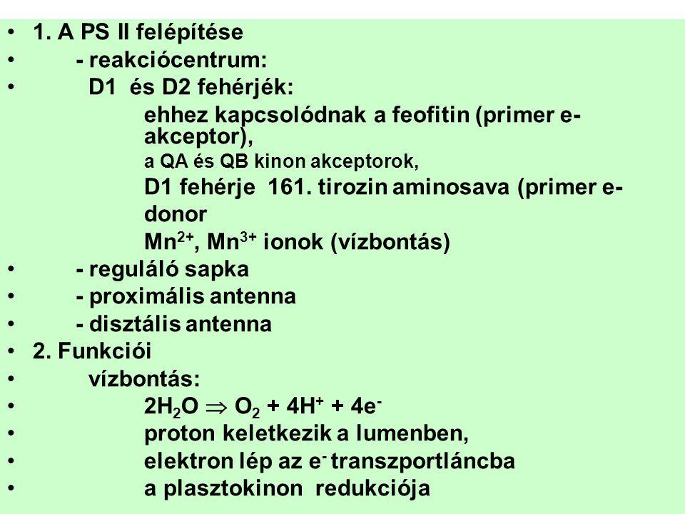 •1. A PS II felépítése •- reakciócentrum: • D1 és D2 fehérjék: ehhez kapcsolódnak a feofitin (primer e- akceptor), a QA és QB kinon akceptorok, D1 feh