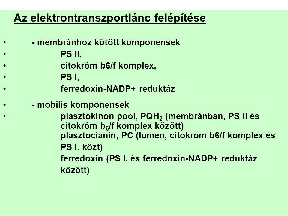 Az elektrontranszportlánc felépítése •- membránhoz kötött komponensek •PS II, •citokróm b6/f komplex, •PS I, •ferredoxin-NADP+ reduktáz •- mobilis kom