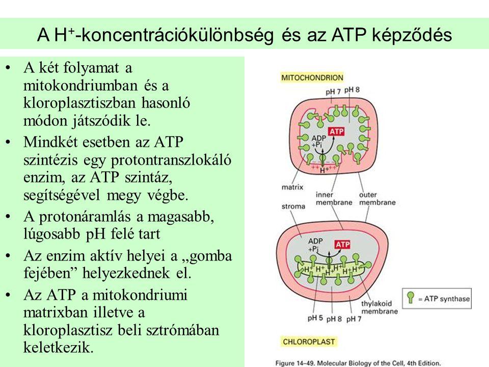 •A két folyamat a mitokondriumban és a kloroplasztiszban hasonló módon játszódik le. •Mindkét esetben az ATP szintézis egy protontranszlokáló enzim, a