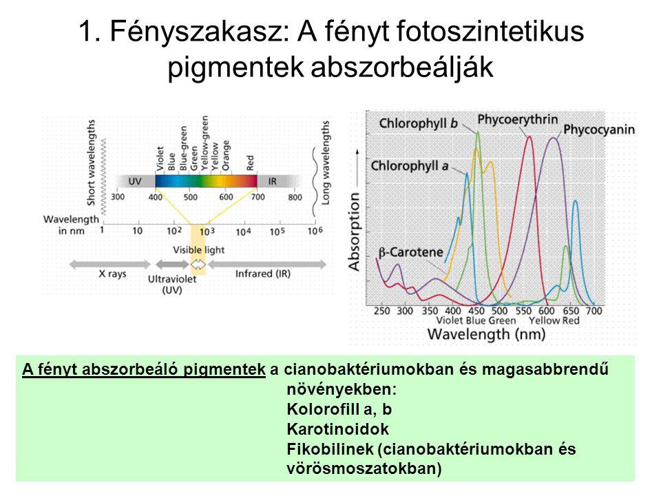 A fénybegyűjtő pigmentek: Klorofill •Porfirin gyűrű – négy pirrolgyűrűből áll •A négy pirrolgyűrű mellett egy öttagú ciklopentanon gyűrű található •A konjugációs rendszer kékkel jelölve •Magnézium ion – Mg ++ - narancs •Észter kötéssel csatlakozó fitol – zöld •Ez a klorofill a – a többi klorofill kicsit különbözik.