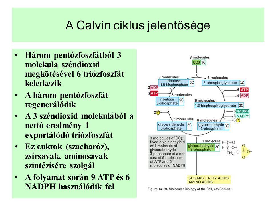 A Calvin ciklus jelentősége •Három pentózfoszfátból 3 molekula széndioxid megkötésével 6 triózfoszfát keletkezik •A három pentózfoszfát regenerálódik