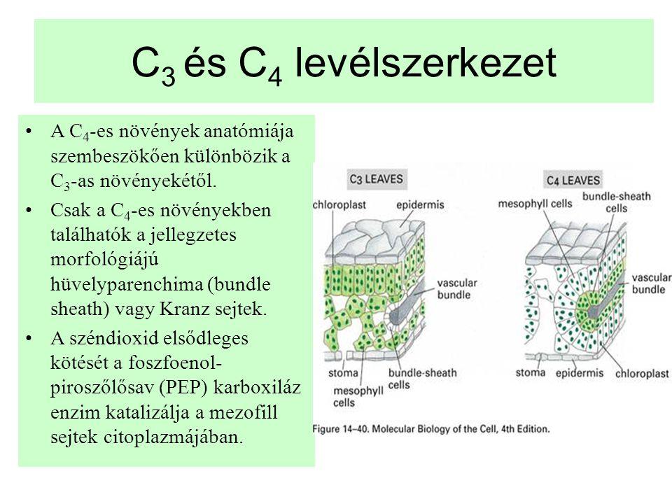 C 3 és C 4 levélszerkezet •A C 4 -es növények anatómiája szembeszök ő en különbözik a C 3 -as növényekét ő l. •Csak a C 4 -es növényekben találhatók a