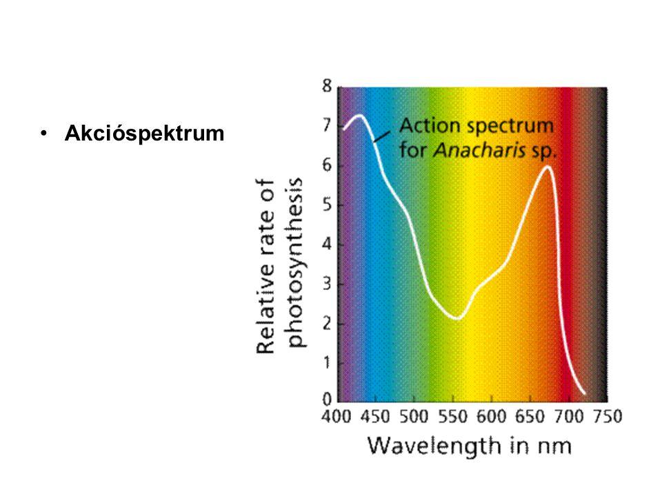 A karotinoidok járulékos pigmentek • Az oxigéntermelő szervezetek reakció-centrumaiban, valamint a prokarióták antennáiban a klorofillok mellett karotinok is találhatók, amelyek a kék tartományban (400-500 nm körül) nyelnek el.