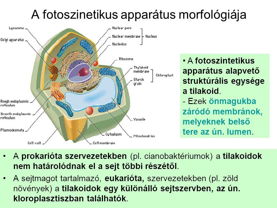A fotoszinetikus apparátus morfológiája •A prokarióta szervezetekben (pl. cianobaktériumok) a tilakoidok nem határolódnak el a sejt többi részétől. •A