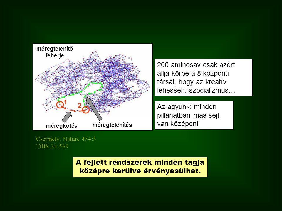 200 aminosav csak azért állja körbe a 8 központi társát, hogy az kreatív lehessen: szocializmus… méregtelenítő fehérje méregkötés méregtelenítés Csermely, Nature 454:5 TiBS 33:569 Az agyunk: minden pillanatban más sejt van középen.