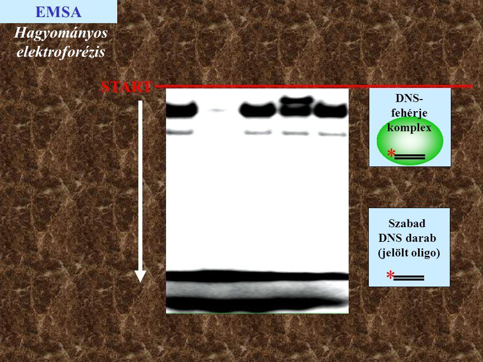 EMSA Szabad DNS darab (jelölt oligo) * DNS- fehérje komplex * START Hagyományos elektroforézis