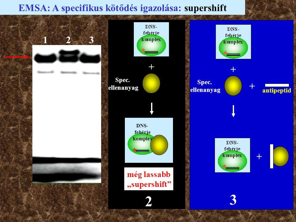 """123 EMSA: A specifikus kötődés igazolása: supershift Spec. ellenanyag + DNS- fehérje komplex * még lassabb """"supershift"""" 2 + Spec. ellenanyag + antipep"""