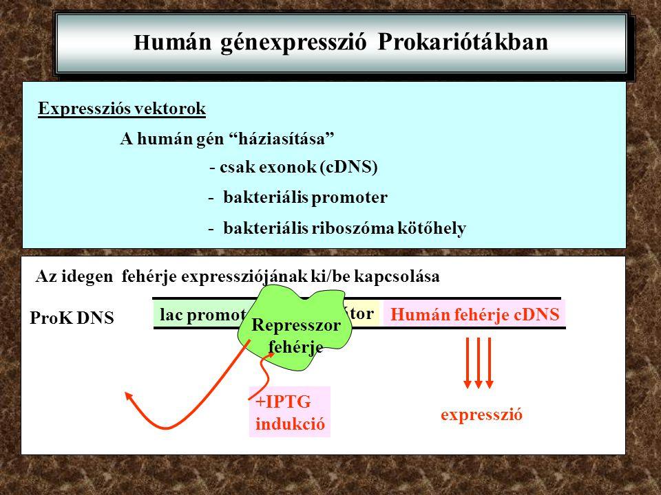 """H umán génexpresszió Prokariótákban Expressziós vektorok A humán gén """"háziasítása"""" - csak exonok (cDNS) - bakteriális promoter - bakteriális riboszóma"""