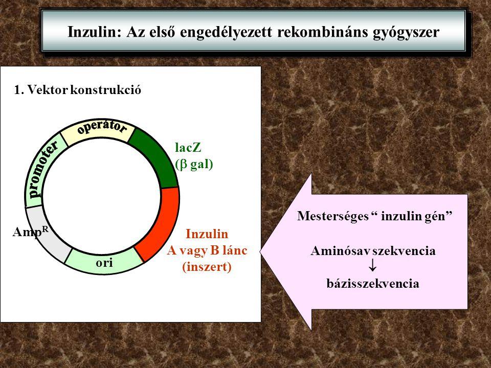 """Inzulin: Az első engedélyezett rekombináns gyógyszer 1. Vektor konstrukció Amp R ori lacZ (  gal) Inzulin A vagy B lánc (inszert) Mesterséges """" inzul"""