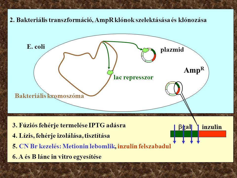 2. Bakteriális transzformáció, AmpR klónok szelektásása és klónozása E. coli Bakteriális kromoszóma lac represszor Amp R plazmid 3. Fúziós fehérje ter