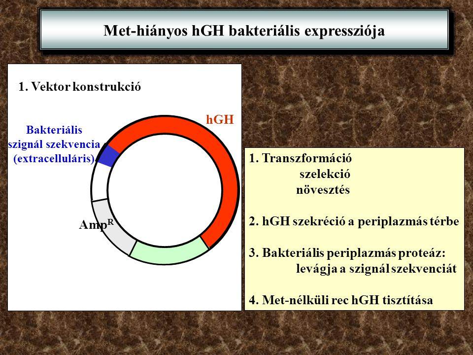 Met-hiányos hGH bakteriális expressziója 1. Transzformáció szelekció növesztés 2. hGH szekréció a periplazmás térbe 3. Bakteriális periplazmás proteáz