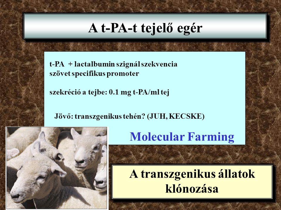 A t-PA-t tejelő egér t-PA + lactalbumin szignál szekvencia szövet specifikus promoter szekréció a tejbe: 0.1 mg t-PA/ml tej Jövő: transzgenikus tehén?