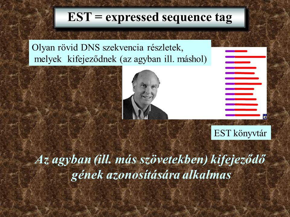 EST = expressed sequence tag Olyan rövid DNS szekvencia részletek, melyek kifejeződnek (az agyban ill. máshol) EST könyvtár Az agyban (ill. más szövet