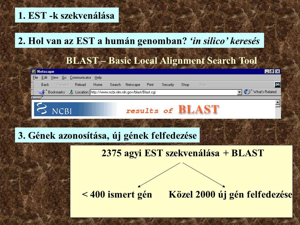 2. Hol van az EST a humán genomban? 'in silico' keresés BLAST – Basic Local Alignment Search Tool 1. EST -k szekvenálása 2375 agyi EST szekvenálása +