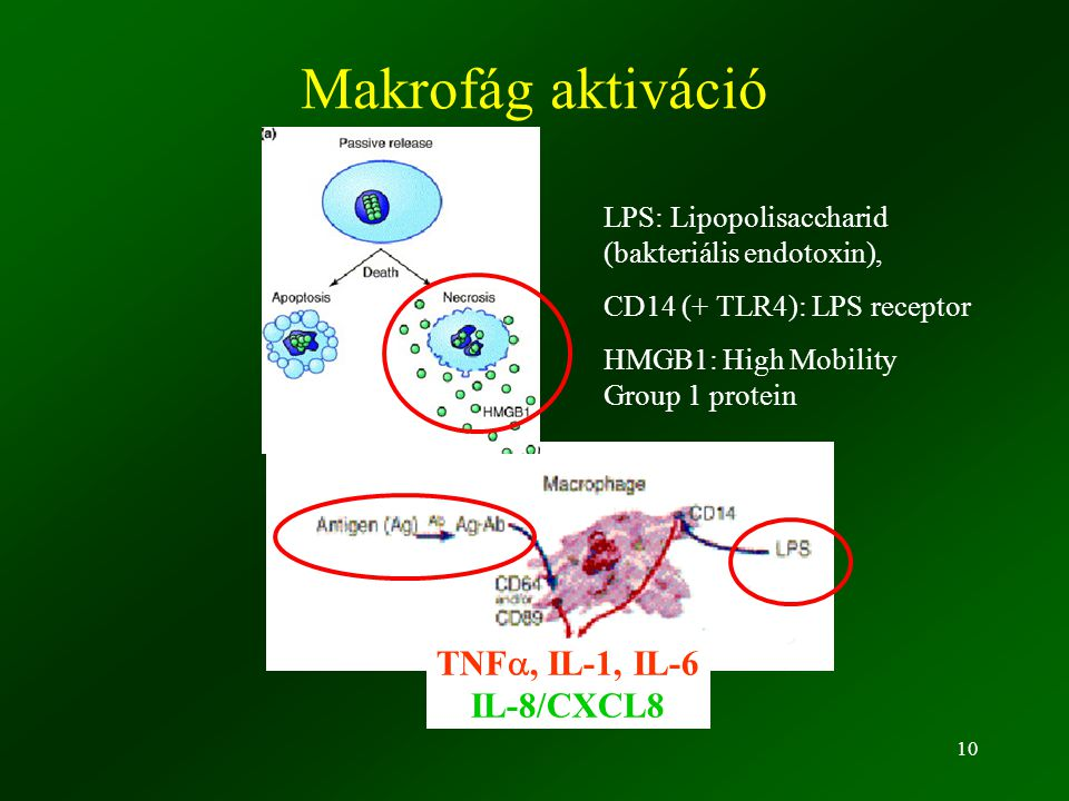 10 Makrofág aktiváció TNF , IL-1, IL-6 IL-8/CXCL8 LPS: Lipopolisaccharid (bakteriális endotoxin), CD14 (+ TLR4): LPS receptor HMGB1: High Mobility Group 1 protein
