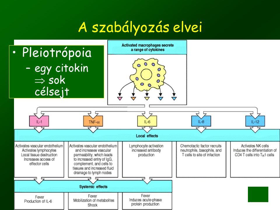 ©Fülöp AK 201017 A szabályozás elvei •Pleiotrópoia –egy citokin  sok célsejt