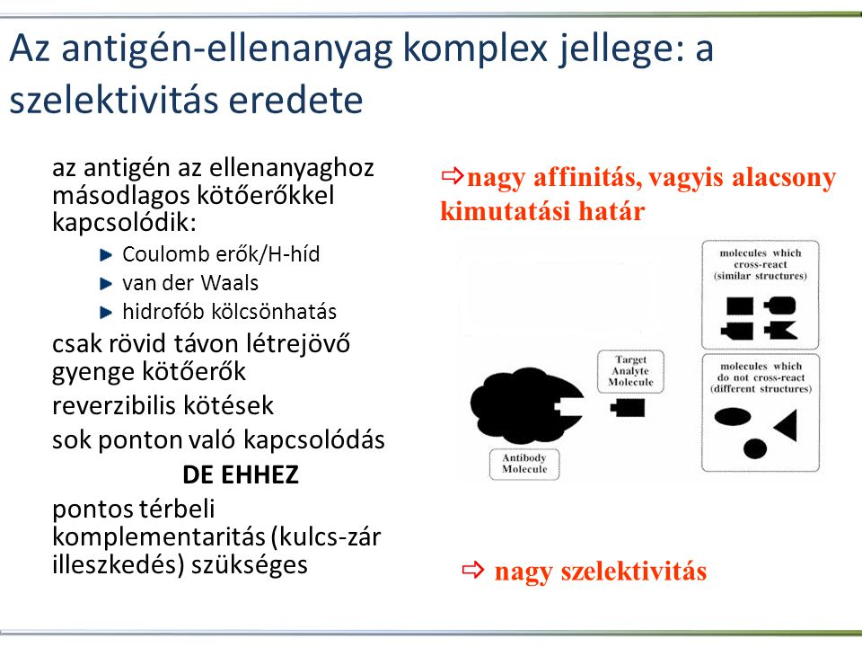 Az antigén-ellenanyag komplex jellege: a szelektivitás eredete az antigén az ellenanyaghoz másodlagos kötőerőkkel kapcsolódik: Coulomb erők/H-híd van