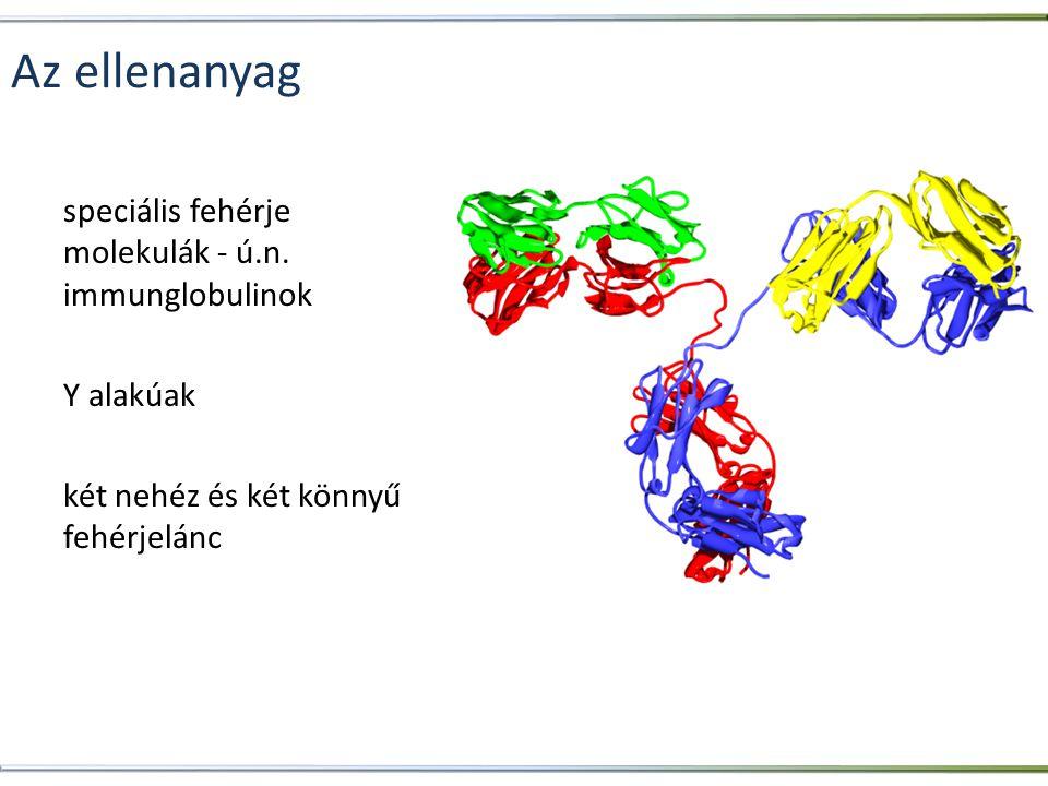 Az antigén-ellenanyag komplex konstans régió (csak néhányféle létezik) fajspecifikus variábilis régió antigén specifikus