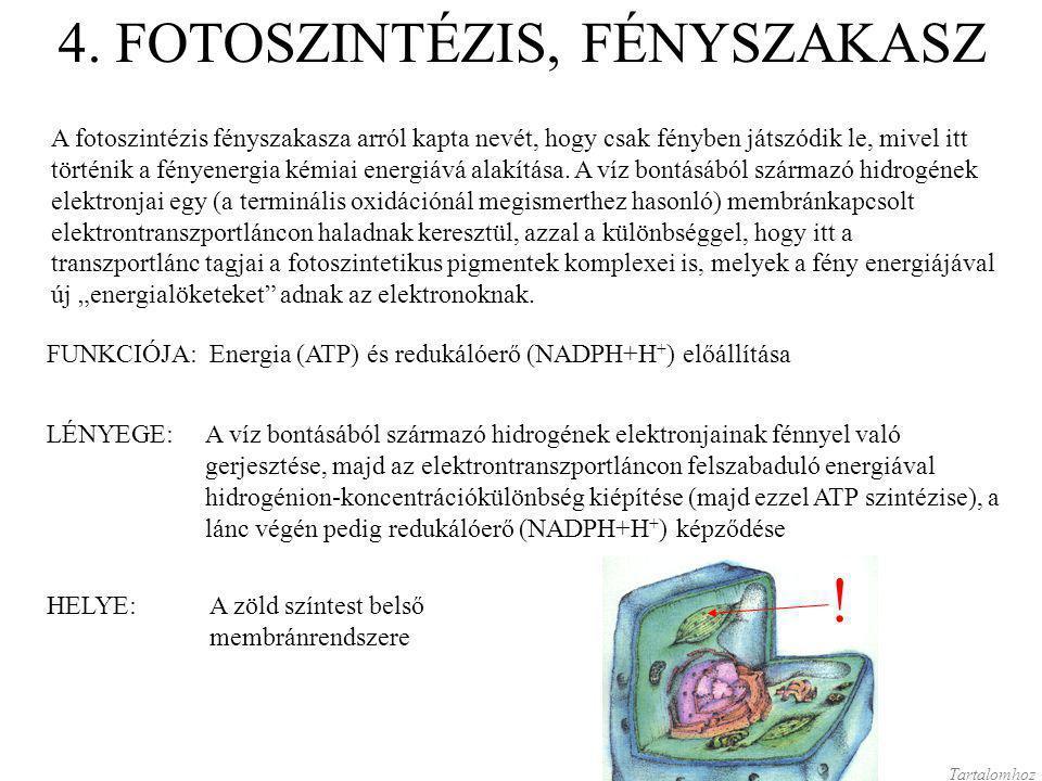 4. FOTOSZINTÉZIS, FÉNYSZAKASZ A fotoszintézis fényszakasza arról kapta nevét, hogy csak fényben játszódik le, mivel itt történik a fényenergia kémiai