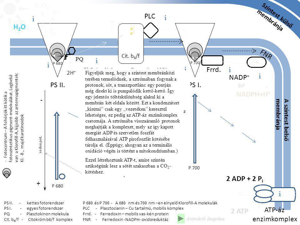 Színtest külső membránja H2OH2O ½ O 2 PQ NADP + NADPH+H + 2H + P 680 és P 700 - A 680 nm és 700 nm –en elnyelő Klorofill-A molekulák PLC - Plasztocian