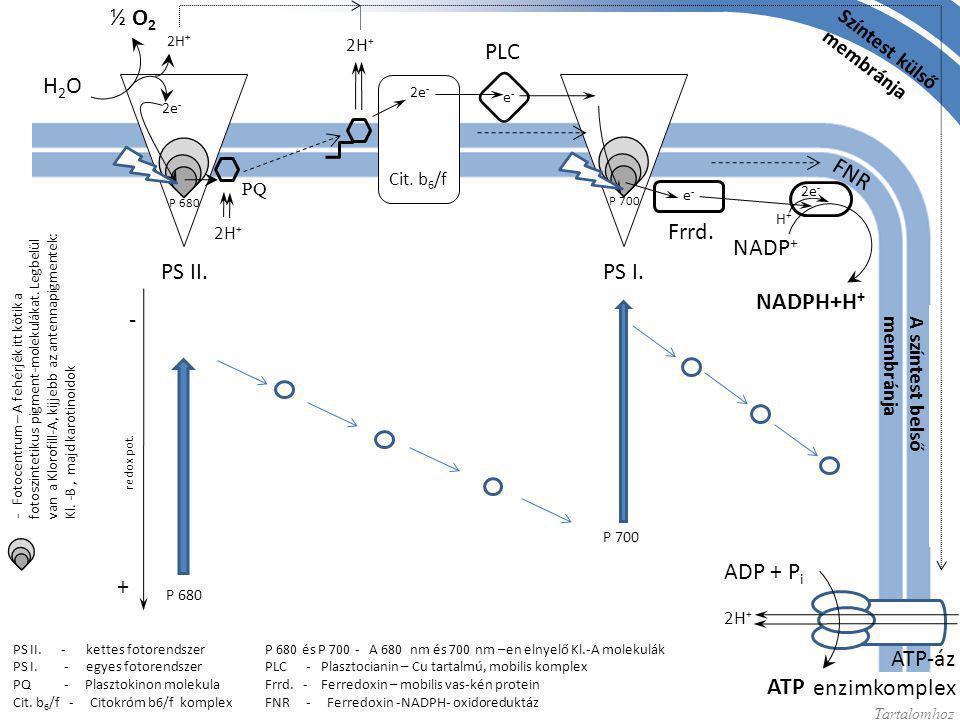 H2OH2O ½ O 2 2e - 2H + PQ 2H + 2e - e-e- e-e- NADP + NADPH+H + 2e - H+H+ P 680 és P 700 - A 680 nm és 700 nm –en elnyelő Kl.-A molekulák PLC - Plaszto