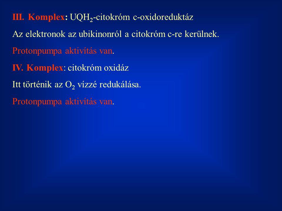 III. Komplex: UQH 2 -citokróm c-oxidoreduktáz Az elektronok az ubikinonról a citokróm c-re kerülnek. Protonpumpa aktivítás van. IV. Komplex: citokróm