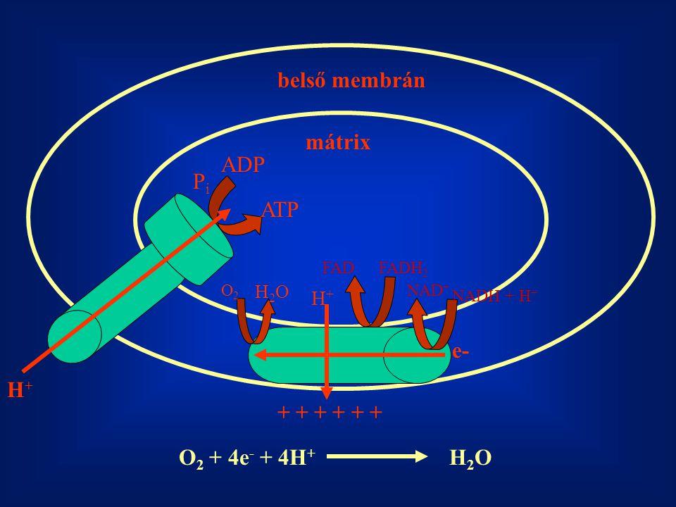 Az energiatermelés folyamata a mitokondriumokban e- H+H+ H+H+ H+H+ H+H+ H+H+ H+H+ 3 H + NADH QCyt c NAD + NADH Dehidrogenáz komplex Citokróm b-c1 komplex Citokróm oxidáz komplex ADP+P i ATP Szintáz porinok Inter-membrán tér Mátrix e- +O 2 H2OH2O FADH 2 FAD I II IIIIV