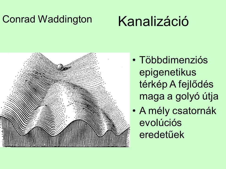 Kanalizáció Conrad Waddington •Többdimenziós epigenetikus térkép A fejlődés maga a golyó útja •A mély csatornák evolúciós eredetűek