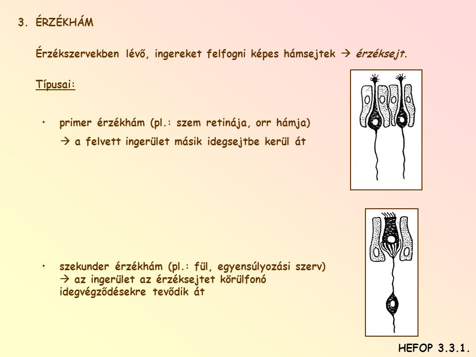 3.ÉRZÉKHÁM Érzékszervekben lévő, ingereket felfogni képes hámsejtek  érzéksejt. Típusai: •primer érzékhám (pl.: szem retinája, orr hámja)  a felvett
