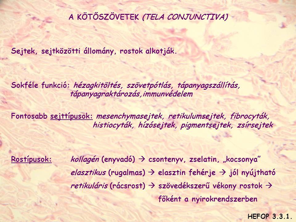 A KÖTŐSZÖVETEK (TELA CONJUNCTIVA) Sejtek, sejtközötti állomány, rostok alkotják. Sokféle funkció: hézagkitöltés, szövetpótlás, tápanyagszállítás, tápa
