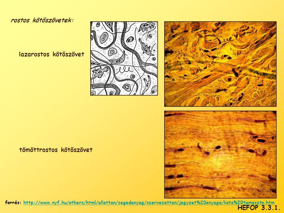 rostos kötőszövetek: lazarostos kötőszövet tömöttrostos kötőszövet HEFOP 3.3.1. forrás: http://www.nyf.hu/others/html/allattan/segedanyag/szervezettan