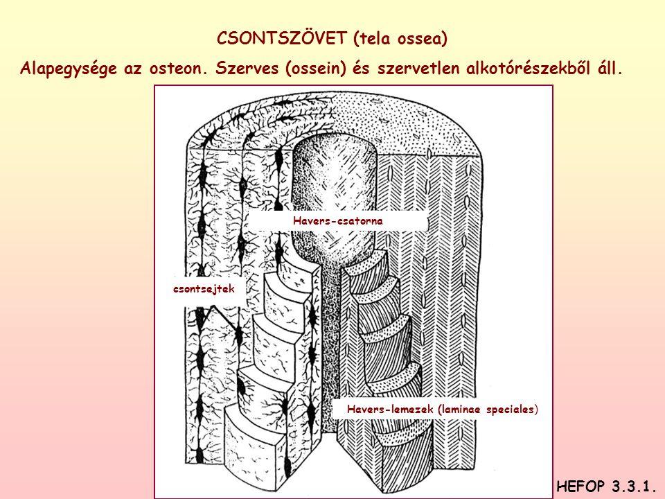 CSONTSZÖVET (tela ossea) Alapegysége az osteon. Szerves (ossein) és szervetlen alkotórészekből áll. Havers-csatorna Havers-lemezek (laminae speciales)
