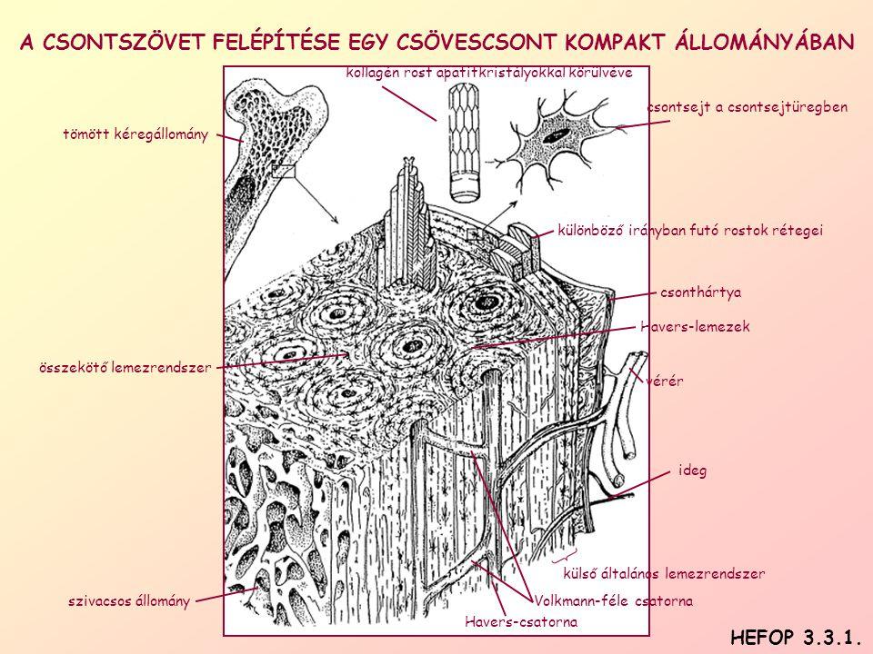 A CSONTSZÖVET FELÉPÍTÉSE EGY CSÖVESCSONT KOMPAKT ÁLLOMÁNYÁBAN csontsejt a csontsejtüregben csonthártya Havers-csatorna ideg Havers-lemezek külső általános lemezrendszer különböző irányban futó rostok rétegei kollagén rost apatitkristályokkal körülvéve összekötő lemezrendszer szivacsos állomány tömött kéregállomány Volkmann-féle csatorna vérér HEFOP 3.3.1.