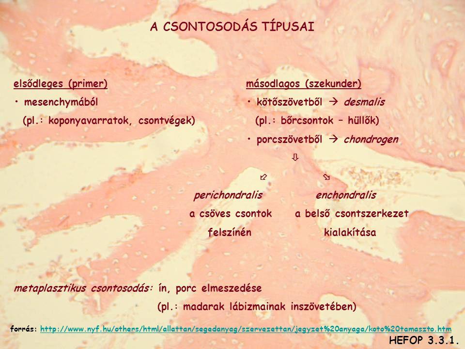 A CSONTOSODÁS TÍPUSAI elsődleges (primer)másodlagos (szekunder) • mesenchymából• kötőszövetből  desmalis (pl.: koponyavarratok, csontvégek) (pl.: bőrcsontok – hüllők) • porcszövetből  chondrogen    perichondralis enchondralis a csöves csontok a belső csontszerkezet felszínén kialakítása metaplasztikus csontosodás: ín, porc elmeszedése (pl.: madarak lábizmainak inszövetében) HEFOP 3.3.1.