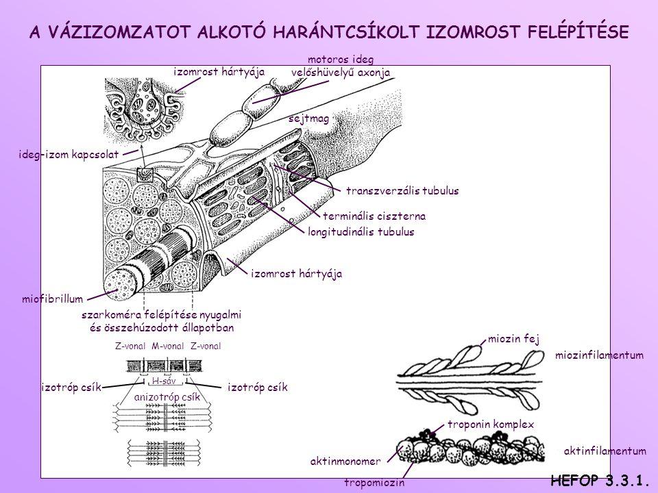 tropomiozin aktinfilamentum miozin fej miozinfilamentum troponin komplex aktinmonomer terminális ciszterna miofibrillum H-sáv izotróp csík izomrost hártyája ideg-izom kapcsolat longitudinális tubulus motoros ideg velőshüvelyű axonja sejtmag szarkoméra felépítése nyugalmi és összehúzodott állapotban anizotróp csík transzverzális tubulus Z-vonal M-vonal Z-vonal izomrost hártyája izotróp csík A VÁZIZOMZATOT ALKOTÓ HARÁNTCSÍKOLT IZOMROST FELÉPÍTÉSE HEFOP 3.3.1.