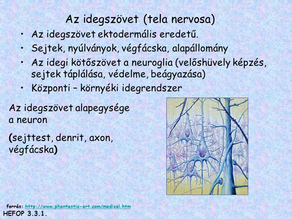 Az idegszövet (tela nervosa) •Az idegszövet ektodermális eredetű. •Sejtek, nyúlványok, végfácska, alapállomány •Az idegi kötőszövet a neuroglia (velős
