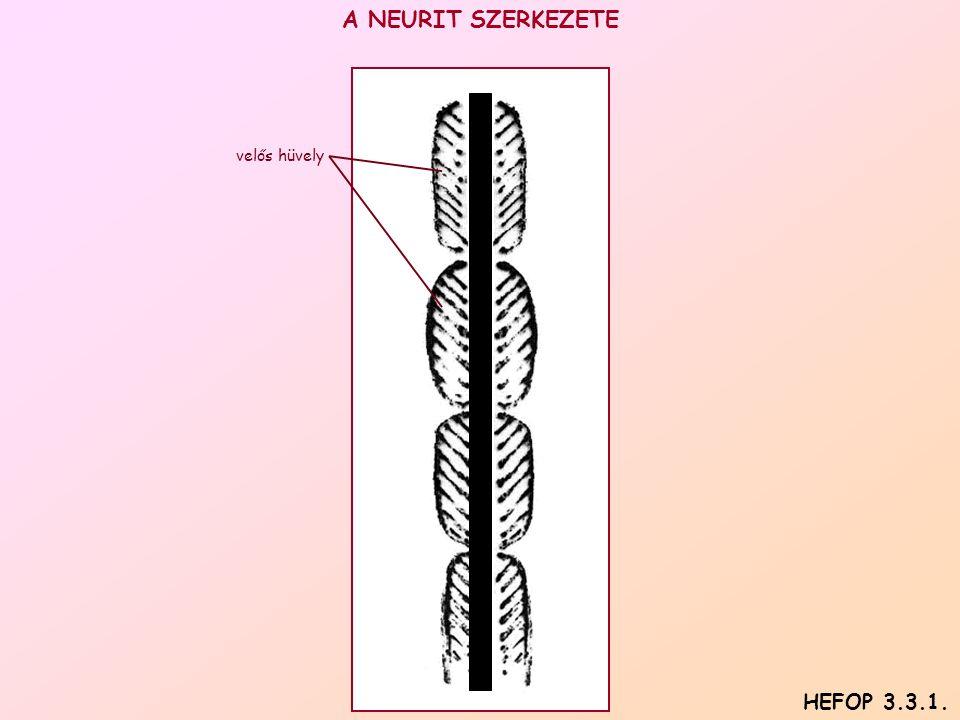 A NEURIT SZERKEZETE velős hüvely HEFOP 3.3.1.