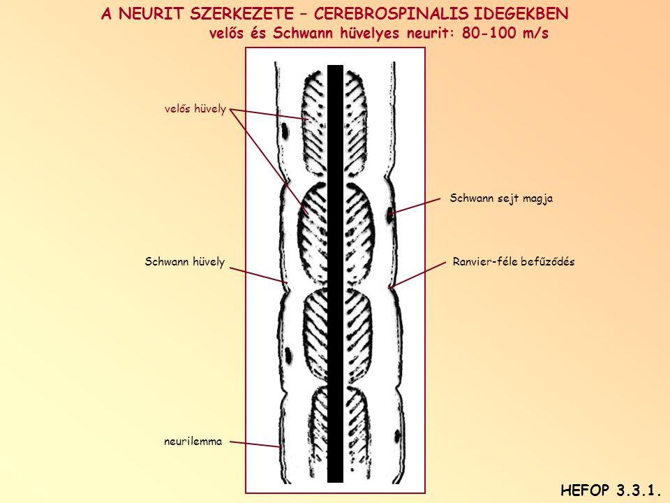 A NEURIT SZERKEZETE – CEREBROSPINALIS IDEGEKBEN velős és Schwann hüvelyes neurit: 80-100 m/s velős hüvely Schwann sejt magja Schwann hüvelyRanvier-féle befűződés neurilemma HEFOP 3.3.1.