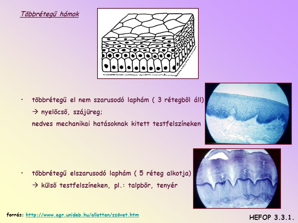Többrétegű hámok •többrétegű el nem szarusodó laphám ( 3 rétegből áll)  nyelőcső, szájüreg; nedves mechanikai hatásoknak kitett testfelszíneken •többrétegű elszarusodó laphám ( 5 réteg alkotja)  külső testfelszíneken, pl.: talpbőr, tenyér HEFOP 3.3.1.